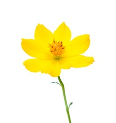 beautiful yellow cosmos Flower isolated on white background