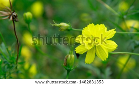 Beautiful yellow cosmos or sulfur cosmos