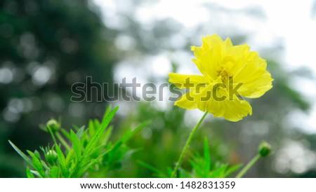 Beautiful yellow cosmos or sulfur cosmos