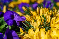 beautiful yellow crocus and purple pansies in blooming. High quality photo
