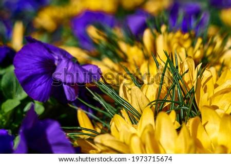 beautiful yellow crocus and purple pansies in blooming. High quality photo Сток-фото ©