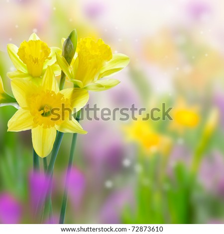 Beautiful yellow daffodil flowers in the meadows, on blurred background
