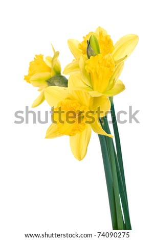 Beautiful yellow daffodil flowers isolated on white