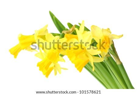 beautiful yellow daffodils isolated on white