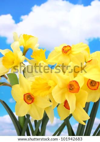 beautiful yellow daffodils  on blue sky background