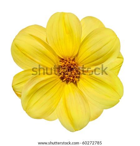Beautiful Yellow Dahlia Flower Isolated on White Background