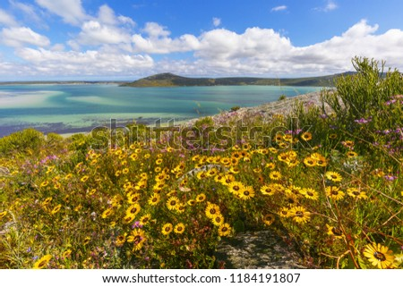 Beautiful yellow daisies grow on a slope with Langebaan Lagoon  and Postberg in the background during Spring along the West Coast of South Africa