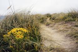 Beautiful yellow daisy flowers grow on a dune. Selective focus. Bertra beach, county Mayo, Ireland. Nature background