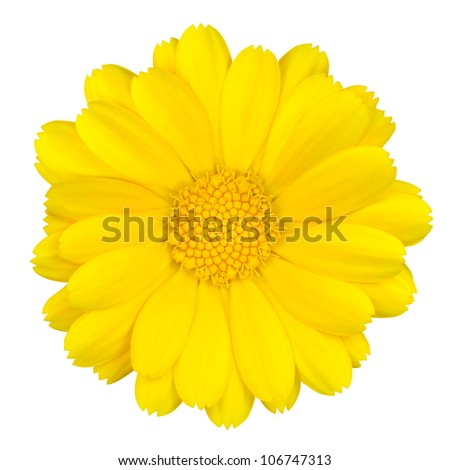 Beautiful Yellow Daisy Isolated on White Background