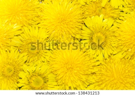 Beautiful Yellow Dandelion Flowers Background