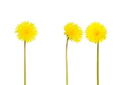 Beautiful yellow dandelion flowers isolated on white background. Spring or summer background. Taraxacum officinale, common dandelion, a flowering herbaceous perennial plant
