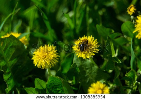 beautiful yellow dandelions with a bee. spring background picture