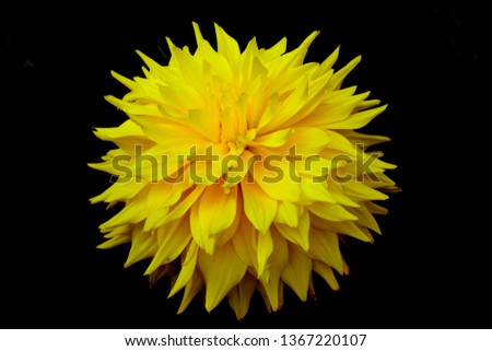 Beautiful yellow Dhalia flower in my garden ,,,pic taken with nice black background