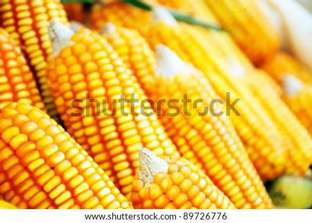 Beautiful yellow ear of corn