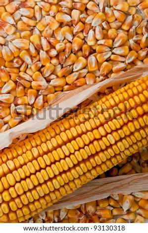 Beautiful yellow ear of corn on a background foliage