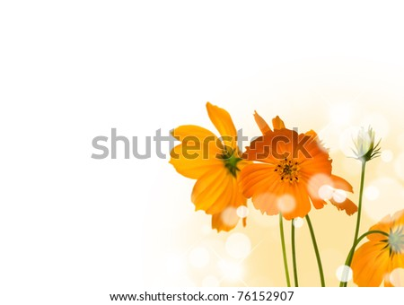 Beautiful yellow flower (Cosmos) isolated on white background.