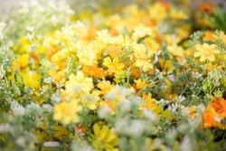 Beautiful Yellow Flower Field with Warm Light