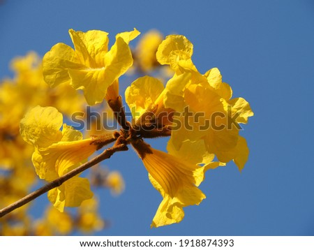 Beautiful yellow flower in the garden Silver trumpet tree, Tree of gold, Paraguayan silver trumpet tree, Tabebuia aurea with blue sky background. Stockfoto ©