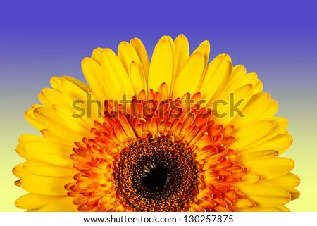 beautiful yellow flower isolated on blue-yellow background