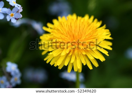 Beautiful yellow flower of dandelion among forgetmenot flowers in garden