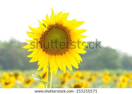 Beautiful yellow flower, sunflower in field plantation