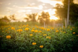 Beautiful yellow flowers in field at sunset,marigold.