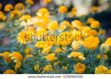 Beautiful yellow flowers in the garden, floral background, floral images #1240466506