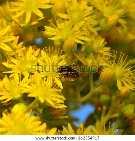 Beautiful yellow flowers of aeonium undulatum with a small domestic fly sucking the juicy pollen between the aromatic stamens, spring wildflowers  in all its splendor