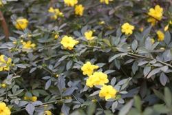 Beautiful yellow flowers of Jasminum mesnyi, yellow jasmine.