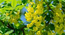 Beautiful yellow flowers of Laburnum anagyroides, common laburnum, golden chain or golden rain, against blue spring sky in sunny Tuapse city. Soft selective focus