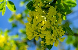 Beautiful yellow flowers of Laburnum anagyroides golden chain against blue spring sky in sunny Tuapse city. Soft selective focus
