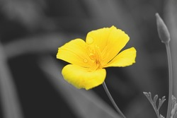 Beautiful yellow flowers on gray, Color 2021 illuminating and Ultimate Gray.