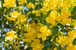 Beautiful yellow flowers with green leaves  background ,Cat's Claw, Catclaw Vine, Cat's Claw Creeper plants