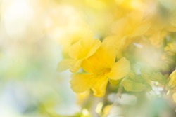 Beautiful yellow flowers with green leaves   background,Cat's Claw, Catclaw Vine, Cat's Claw Creeper plants
