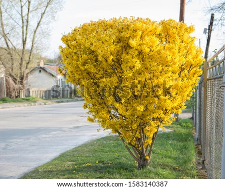 Beautiful yellow forsythia bush in park - early spring. forsythia bush in spring park - early spring.