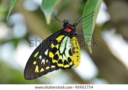beautiful yellow green and black butterfly, the malachite (siproete stelenes) a member of the brush footed butterfly family, named after the mineral
