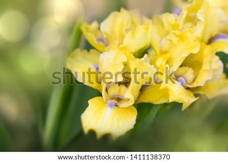 Beautiful yellow iris flower - nature spring Sunny background. Soft focus with bokeh . Iris is a perennial coastal herb of the genus iris (Iris)