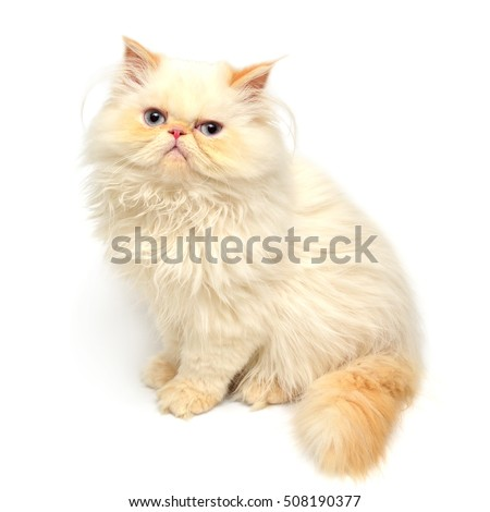 Stock Photo Beautiful yellow kitten isolated on white background. Persian cat.