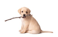 Beautiful yellow labrador puppy playing with a stick on a white background