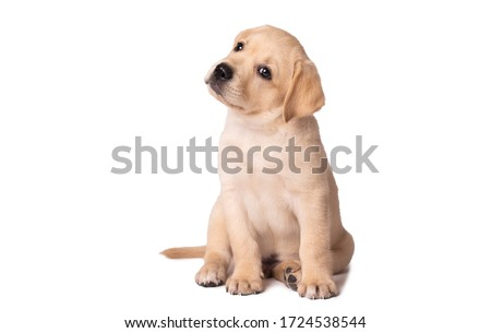 Photo of  Beautiful yellow labrador puppy sitting on a white background