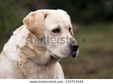 Beautiful yellow labrador retriever portrait