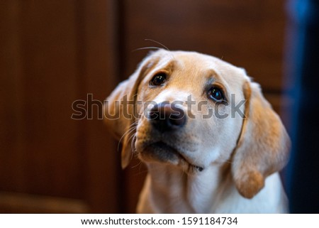 Beautiful yellow Labrador Retriever puppy with puppy eyes