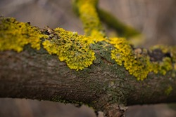 Beautiful yellow lichen on a tree in a forest close-up