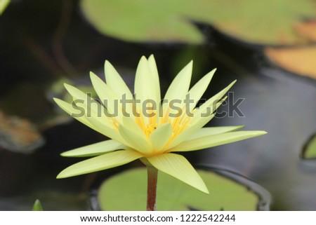 Beautiful yellow lotus in the garden. #1222542244