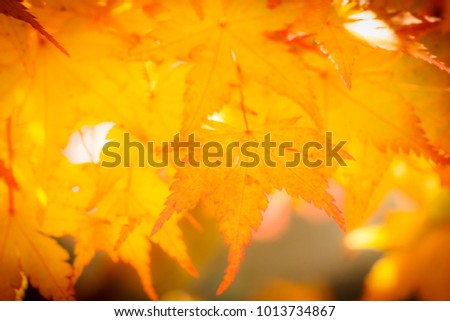 Beautiful yellow maple leaf in winter nature, in Japan