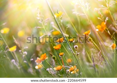 Beautiful yellow meadow flowers