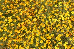 Beautiful yellow, orange marigold flowers and leaves background pattern in tagetes garden. Close-up marigold flowers (tagetes erecta, aztec, african marigold flower). Floral background pattern tagetes