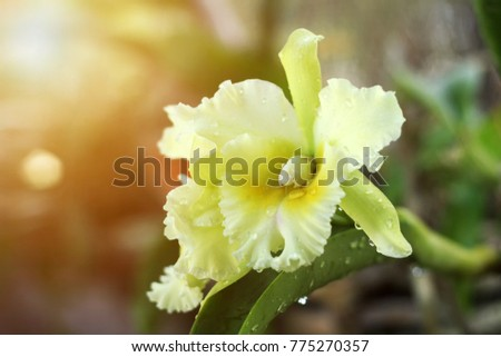 Beautiful yellow orchid flower (Cattleya Orchids, Cattleya labiata) with sun light flare. Selective focus in flower center.