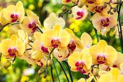 Beautiful yellow orchid flowers closeup