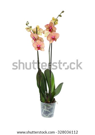 beautiful yellow orchid in pot on white background #328036112